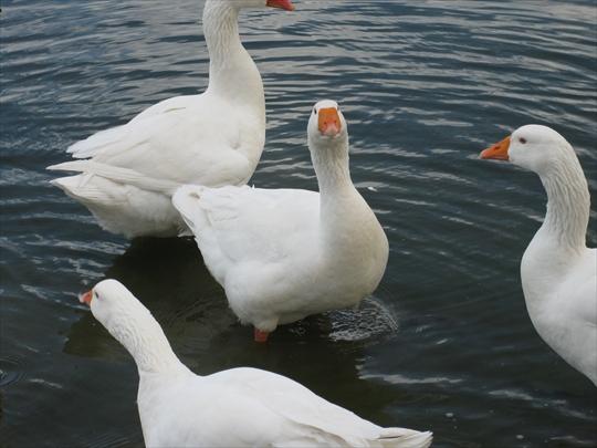 白雁 snow goose.JPG